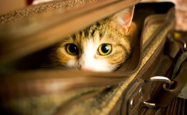 Vai viajar nas férias e não sabe com quem deixar seu gatinho? Confira as dicas!